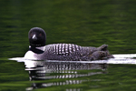 Common loon on Willard Pond, NH