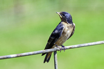 Young barn swallow sitting on a fence