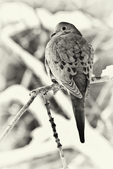 Black and white of a mourning dove