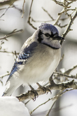 Blue jay sitting on a sow covered branch