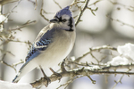Blue jay on a winter day