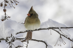Female northern cardinal sitting on a snow covered branch.