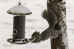 Athletic eastern gray squirrel  eating sunflower seeds at a feeder.