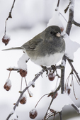 Junco sits on a snow covered branch