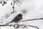 Junco on a crab apple tree branch - snow covered