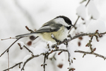 Black capped chickadee on a snow covered branch