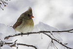 Female cardinal on a snowy branch