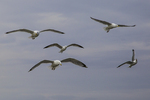 Herring Gulls in flight along the Maine coast
