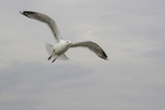 Single herring gull in flight