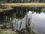 Some wire fencing set up as a beaver deterrent at Quabbin Reservoir in New Salem, MA