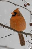 Male Northern Cardinal #1