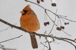 Male Northern cardinal #2