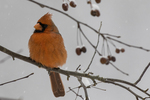 Male Northern Cardinal #5