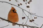 Male Northern Cardinal #6