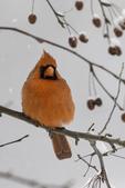 Male Northern Cardinal #3