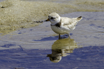Piping plover at Crane Beach, Ipswich, MA #2