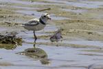 Piping plover at Crane Beach, Ipswich, MA #3