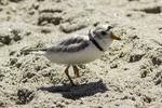 Piping plover at Crane Beach, Ipswich, MA #4