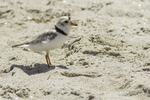 Piping plover at Crane Beach, Ipswich, MA #5