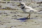 Piping plover at Crane Beach, Ipswich, MA #6