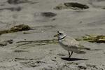 Piping plover at Crane Beach, Ipswich, MA #7