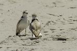 Piping plover at Crane Beach, Ipswich, MA #9