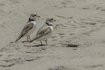 Piping plover at Crane Beach, Ipswich, MA #8