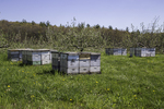 Beehives in a New England Apple Orchard