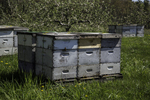 Beehives in a Massachusetts apple orchard