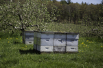 Bees pollinate the trees in this apple orchard