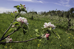 Apple tree blossoms on a New England farm