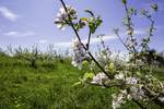 Apple blossoms in springtime on a New England farm