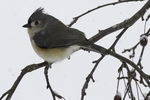Tufted titmouse sitting on a crab apple tree