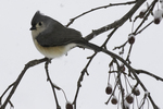 Tufted titmouse sits on a branch during a snow storm