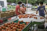 Young farmers sort and pack up tomatoes for market