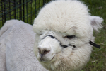 A young white alpaca