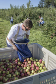 Man dumps apples he just picked into a bin