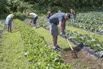 Farm hands working in a vegetable garden