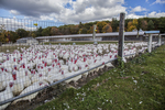White turkeys fill a pen at a farm in Massachusetts
