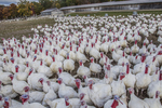 Turkeys penned up at a farm in Massachusetts