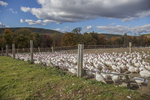 A turkey farm in Wendell, MA