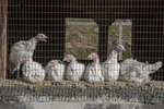 Seven turkeys penned up in a barn
