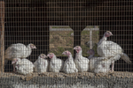 Eight turkeys penned up in a poultry house