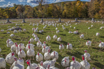 Turkeys free range in a field