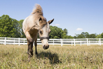 A miniature horse in the pasture.