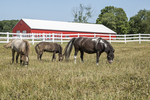 Miniature horses on pasture with a red barn and white fence in the background
