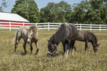 Miniature horses on pasture