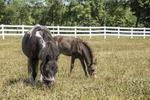 Miniature horses on pasture