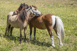 Two miniature horses together on pasture