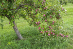 Apple tree in a New England orchard